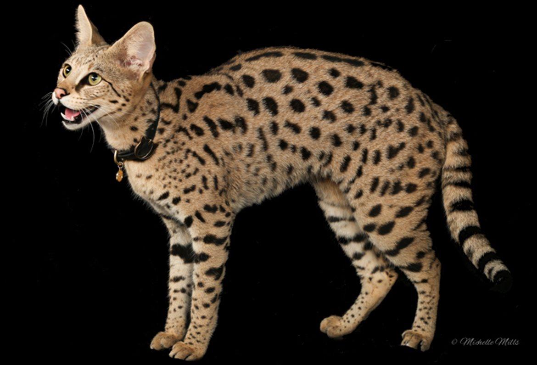 Domestic Cheetah Cat For Sale