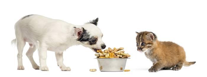 Chihuahua i azijska zlatna mačka prehrana